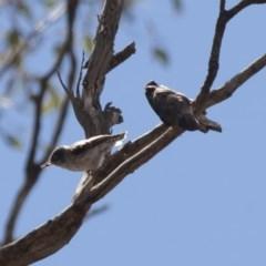 Daphoenositta chrysoptera at Illilanga & Baroona - 22 Jan 2012