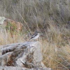 Melanodryas cucullata (Hooded Robin) at Illilanga & Baroona - 11 Mar 2008 by Illilanga
