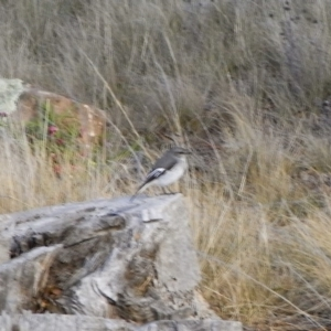 Melanodryas cucullata at Michelago, NSW - 11 Mar 2008
