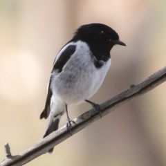 Melanodryas cucullata (Hooded Robin) at Bredbo, NSW - 7 Apr 2020 by Illilanga