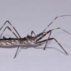 Pnirsus cinctipes (Leg-banded assassin bug) at Evatt, ACT - 31 Oct 2015 by TimL