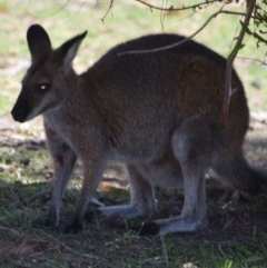Macropus rufogriseus (Red-necked Wallaby) at Namadgi National Park - 1 Mar 2020 by ChrisHolder