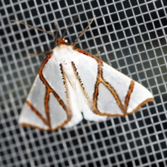 Thalaina clara (Clara's Satin Moth) at O'Connor, ACT - 16 Apr 2020 by ibaird