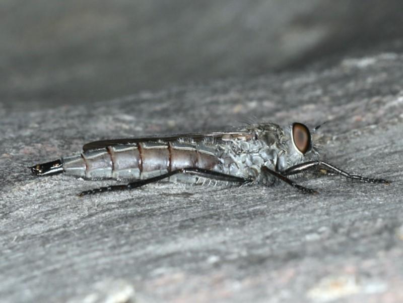 Neocerdistus acutangulatus at Mount Ainslie - 15 Apr 2020