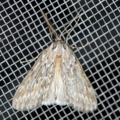 Ciampa arietaria (Forked Pasture-moth) at O'Connor, ACT - 16 Apr 2020 by ibaird