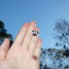 Austracantha minax (Christmas Spider, Jewel Spider) at Red Hill Nature Reserve - 17 Apr 2020 by Ct1000