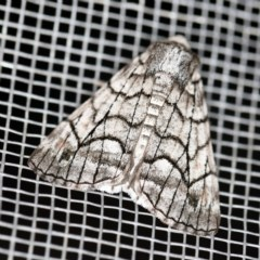 Stibaroma undescribed species (A Line-moth) at O'Connor, ACT - 16 Apr 2020 by ibaird