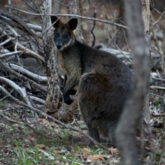 Wallabia bicolor (Swamp Wallaby) at Red Hill Nature Reserve - 16 Apr 2020 by Willcath80