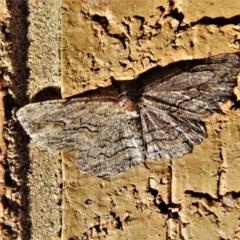 Ectropis excursaria (Common Bark Moth) at Wanniassa, ACT - 18 Apr 2020 by JohnBundock