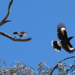 Strepera graculina (Pied Currawong) at Red Hill Nature Reserve - 15 Apr 2020 by TomT