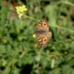 Junonia villida (Meadow Argus) at Deakin, ACT - 15 Apr 2020 by TomT