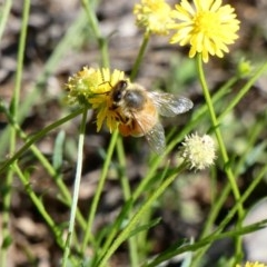 Apis mellifera (European honey bee) at Red Hill Nature Reserve - 15 Apr 2020 by TomT
