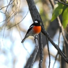 Petroica boodang (Scarlet Robin) at Deakin, ACT - 12 Apr 2020 by TomT