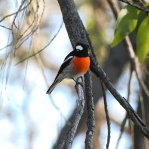 Petroica boodang at Red Hill Nature Reserve - 12 Apr 2020
