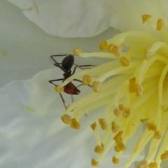 Iridomyrmex purpureus (Meat Ant) at Reid, ACT - 12 Apr 2020 by JanetRussell