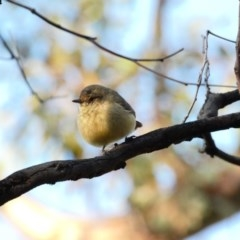Acanthiza reguloides (Buff-rumped Thornbill) at Deakin, ACT - 12 Apr 2020 by TomT