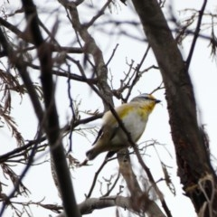 Pardalotus striatus (Striated Pardalote) at Red Hill Nature Reserve - 8 Apr 2020 by TomT