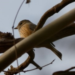 Pachycephala rufiventris (Rufous Whistler) at Red Hill Nature Reserve - 8 Apr 2020 by TomT