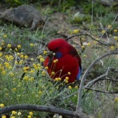 Platycercus elegans (Crimson Rosella) at Red Hill Nature Reserve - 12 Apr 2020 by TomT
