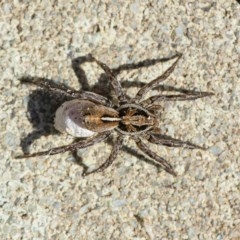Artoriopsis sp. (genus) (Unidentified Artoriopsis wolf spider) at Googong, NSW - 18 Apr 2020 by WHall