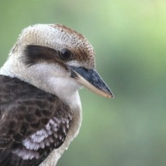 Dacelo novaeguineae (Laughing Kookaburra) at Merimbula, NSW - 10 Apr 2020 by Leo