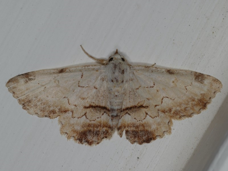 Sandava xylistis at Ainslie, ACT - 16 Apr 2020