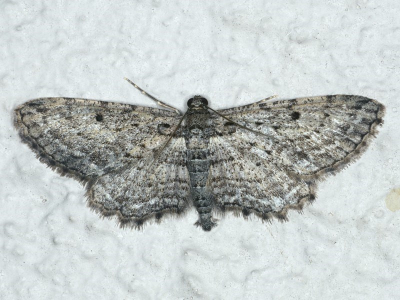 Psilosticha pristis at Ainslie, ACT - 16 Apr 2020