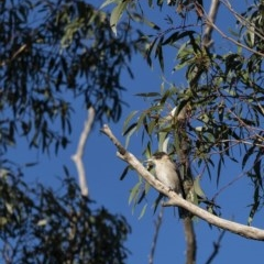 Cracticus torquatus (Grey Butcherbird) at Penrose - 18 Apr 2020 by Aussiegall