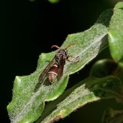 Ropalidia plebeiana at Brogo, NSW - 15 Apr 2020