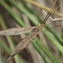 Austrolimnophila antiqua (Crane fly) at Mount Painter - 9 Apr 2020 by CathB