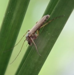 Chironomidae sp. (family) (Midge) at Cook, ACT - 9 Apr 2020 by CathB
