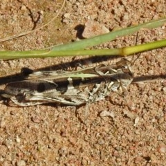 Oedaleus australis (Australian Oedaleus) at Uriarra Recreation Reserve - 17 Apr 2020 by RodDeb
