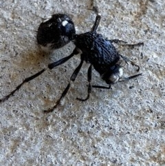 Bothriomutilla rugicollis (Mutillid wasp or 'Velvet ant') at Nanima, NSW - 15 Apr 2020 by 81mv