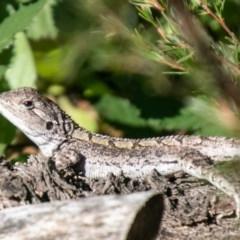 Amphibolurus muricatus (Jacky Lizard) at Coree, ACT - 17 Apr 2020 by SWishart