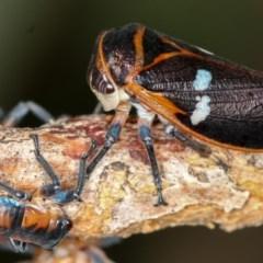 Eurymela fenestrata (Gumtree hopper) at West Belconnen Pond - 25 Mar 2013 by Bron