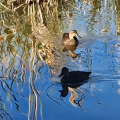 Anas superciliosa (Pacific Black Duck) at Point Hut Pond - 19 Apr 2020 by ChrisHolder