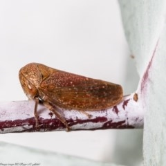 Katipo rubrivenosa (A leafhopper) at Umbagong District Park - 17 Apr 2020 by Roger
