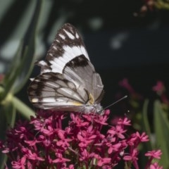 Belenois java (Caper White) at Higgins, ACT - 19 Apr 2020 by AlisonMilton