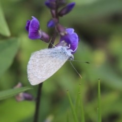 Zizina otis (Common Grass-blue) at Higgins, ACT - 4 Apr 2020 by AlisonMilton
