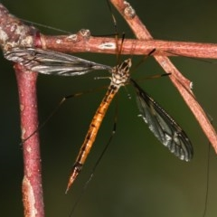 Ptilogyna sp. (genus) (A crane fly) at West Belconnen Pond - 25 Mar 2013 by Bron