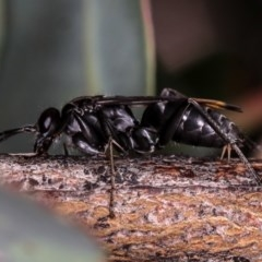Calopompilus sp. (genus) (Spider wasp) at West Belconnen Pond - 25 Mar 2013 by Bron