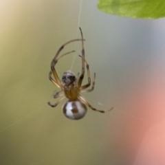 Deliochus sp. (genus) (A leaf curling spider) at Higgins, ACT - 31 Mar 2020 by AlisonMilton