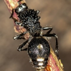 Bothriomutilla rugicollis (Mutillid wasp or 'Velvet ant') at West Belconnen Pond - 25 Mar 2013 by Bron