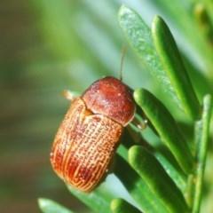 Cadmus sp. (genus) (Unidentified Cadmus leaf beetle) at Dunlop, ACT - 19 Apr 2020 by Harrisi