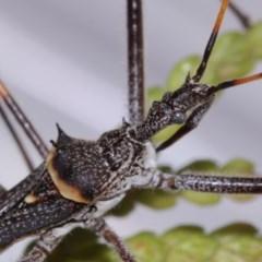 Pnirsus cinctipes (Leg-banded assassin bug) at Evatt, ACT - 29 Oct 2015 by TimL