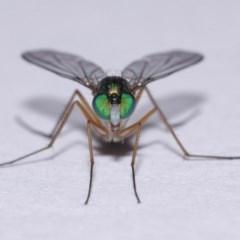 Austrosciapus sp. (genus) (Long-legged fly) at Evatt, ACT - 9 Nov 2015 by TimL