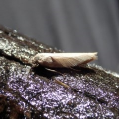 Oecophorinae (subfamily) (Unidentified Oecophorinae concealer moth) at Mount Painter - 18 Apr 2020 by CathB