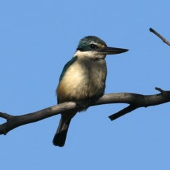 Todiramphus sanctus (Sacred Kingfisher) at Jerrabomberra Wetlands - 14 Apr 2020 by jbromilow50