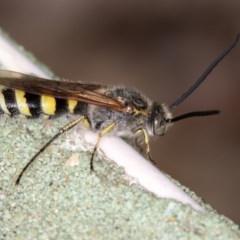 Radumeris tasmaniensis (Yellow Hairy Flower Wasp) at West Belconnen Pond - 29 Jan 2016 by Bron