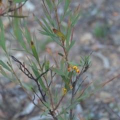 Daviesia mimosoides subsp. mimosoides at Wamboin, NSW - 30 Mar 2020 by natureguy